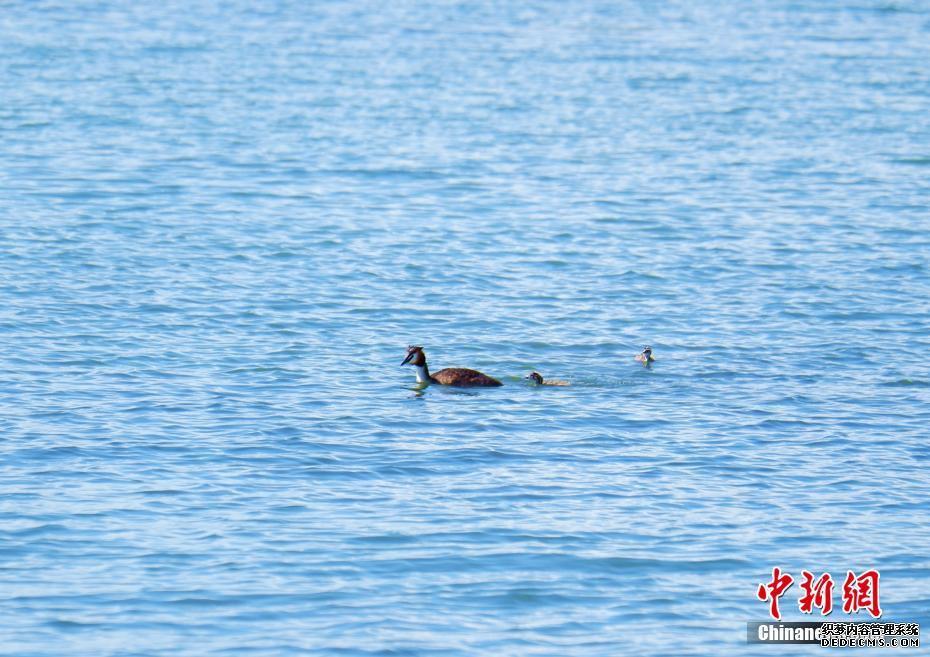 """青海湖北岸呈现""""鱼鸟天堂"""" 每年92种候鸟迁徙停留"""