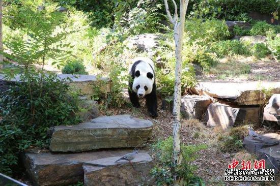 探访南半网页游戏私服推荐球的第一对大熊猫